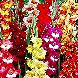 50x Bulbos de Gladiolos de colores Gladiolus bulbos Plantas naturales Jardin flores Bulbos primavera Bulbo de flores