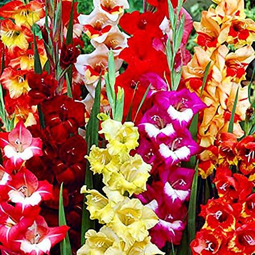 50x Gladiolen zwiebeln mix Blumenzwiebeln Gladiolen Gladiolus Gartenzwiebeln Blumenzwiebeln mehrjährig winterhart
