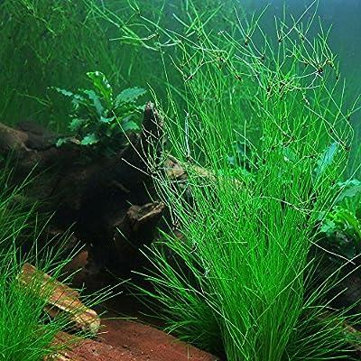 Eleocharis Vivipara - Aquarium Plants