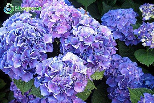 PROMOTION. 10 Bleu Hortensia Fleur Graines, belle Couleur en pot, balcon, plantation est simple, romantique Fleurs
