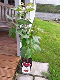 Dwarf Patio Stella Cherry Tree, in a 5L Pot, Miniature & Self-Fertile 3fatpigs®