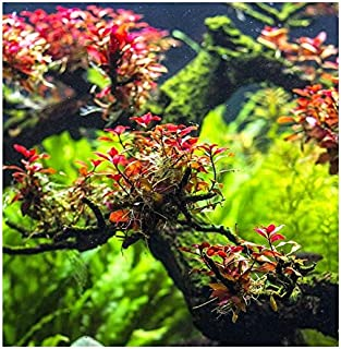 Water Plants Ludwigia sp. Mini Super Red - in-Vitro