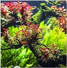 Water Plants Ludwigia sp. Mini Super Red - in-Vitro