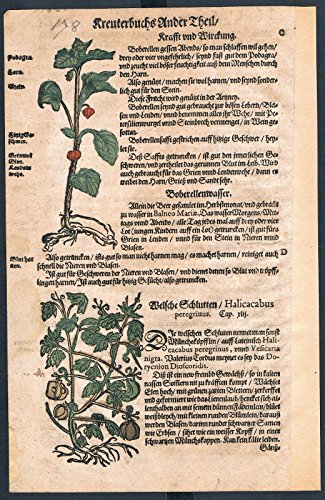 Lampionblume Ballonrebe herbal Kräuter Kräuterbuch Lonicer Holzschnitt