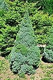 Weihnachtsbaum - Weißfichte - Picea glauca Conica - verschiedene Größen (100-120cm - Topf 5Ltr.)