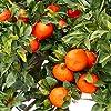 みかんの苗 小原紅早生(おばらべにわせ)【品種で選べる果樹苗木 15cmポット 1~2年生 接木苗/1個】小原紅早生は、昭和48年に香川のみかん園で発見された宮川早生の枝変わり品種です。国産のみかんでは果皮が最も紅いと言われています。糖度が高く、濃厚な甘さとコクがあります。【※冬季は葉が寒さで傷んだ状態での出荷となります。商品の特性上、背丈・形・大きさ等、植物には個体差がありますが、同規格のものを送らせて頂いております。また、植物ですので多少の枯れ込みやキズ等がある場合もございます。予めご了承下さい】