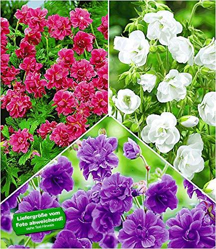 BALDUR Garten Kollektion Winterharte Geranien Stauden Sortiment, 6 Knollen Geranium himalayense