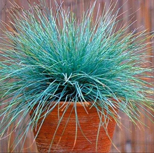 100 bleu fétuque Semences à gazon - (Festuca glauca) herbe ornementale plante vivace si facile à cultiver 8