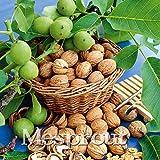 Portal Cool Verde de la nuez de la semilla 1 PC Semillas raras semillas orgánicas nuevo de la fruta del árbol del hogar del árbol Bonsai