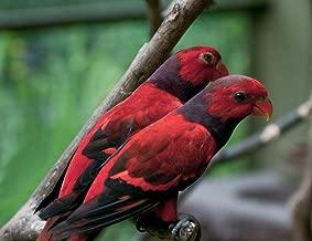 Quality Prints - Laminated 28x22 Vibrant Durable Photo Poster - Eos Squamata -Kuala Lumpur Bird Park, Malaysia