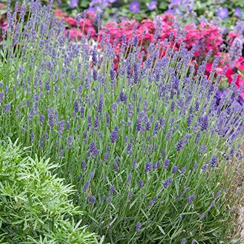 Pflanzen Kölle 6er-Set Echter Lavendel Lavandula angustifolia, Rosenbegleiter