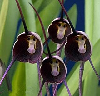Best are monkey face orchids real Reviews
