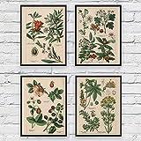 KELEQI (Giclée-Druck) Botanische Sammlung Vintage Poster