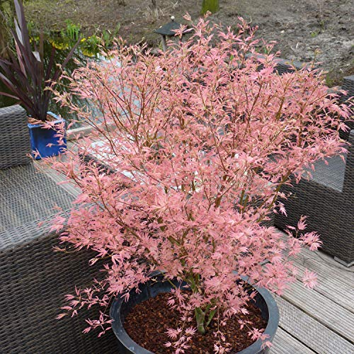 You Garden Limited Acer 'Taylor' Pink Leaves 2L Pot Shrub Plant