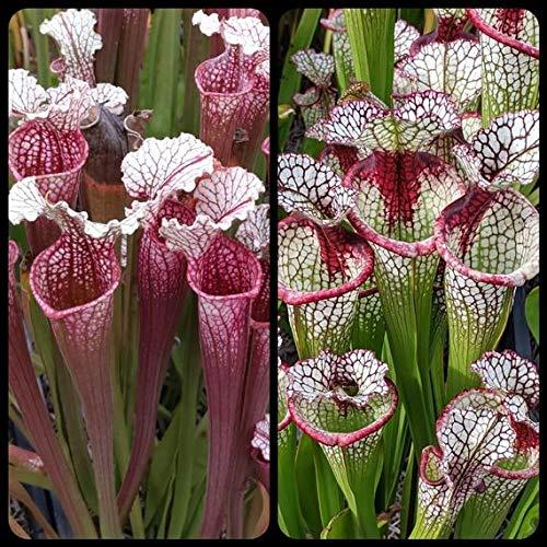 Nouvelle Collection 60pcs / sac rares Graines Sarracenia ornemental facile à cultiver les plantes Bonsai Pour jardin