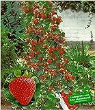 BALDUR-Garten Kletter-Erdbeere 'Hummi®', 3 Pflanzen Fragaria
