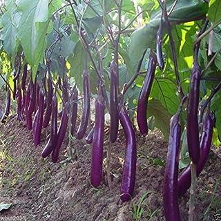 Eggplant, Organic, Purple Long Eggplant, Italian Heirloom~ 300 Vegetable Seeds !