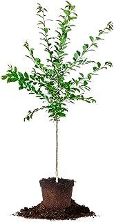 Scarlet Beauty Plum - Size: 4-5', Live Plant, Includes Special Blend Fertilizer & Planting Guide