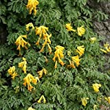 Lerchensporn Canary Feather - Corydalis cultorum