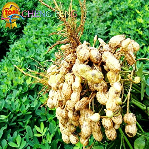 5pcs Caractéristiques Graines d'arachide chinois légumes à haute nutrition rouge et noir organique Rare Heirloom Peanut Germination Taux 99%