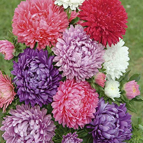 Seeds Aster Pompon Mix Giant Flower Annual Outdoor Garden Cut for Planting Non GMO