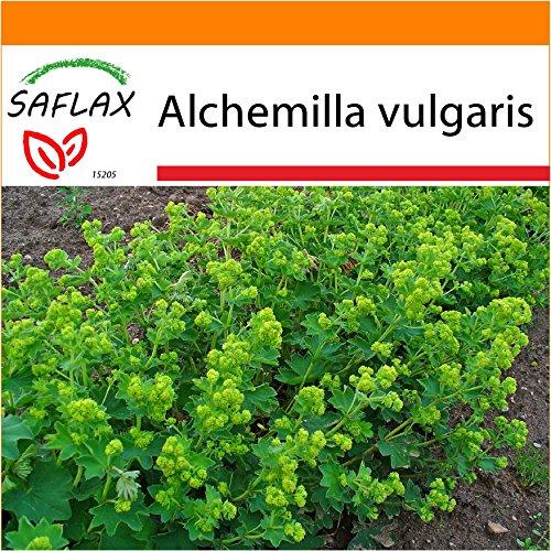 SAFLAX - Garden in the Bag - Heilpflanzen - Frauenmantel - 100 Samen - Mit Anzuchtsubstrat im praktischen, selbst aufstellenden Beutel - Alchemilla vulgaris