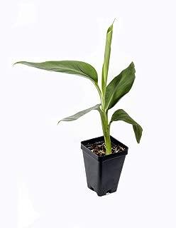 planta de banana
