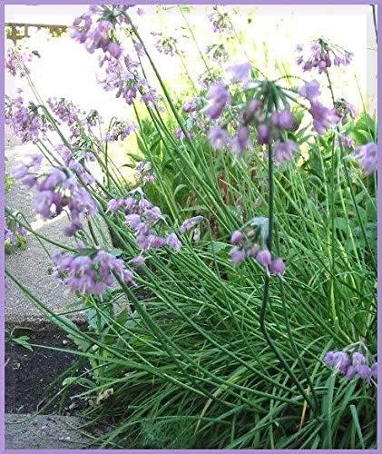 250 Allium Nodding Bombing new work Onion Cernuum Flower 2021 model WFRN Can ct Gro