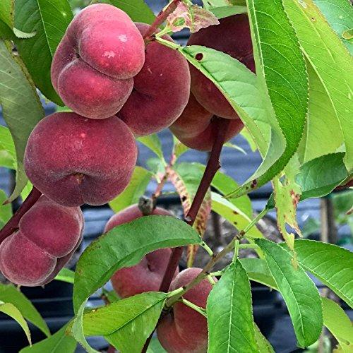 Müllers Grüner Garten Shop Pfirsichbaum Saturn ein Plattpfirsich Tellerpfirsich selbstfruchtbar Buschbaum 120-150 cm 10 L Topf