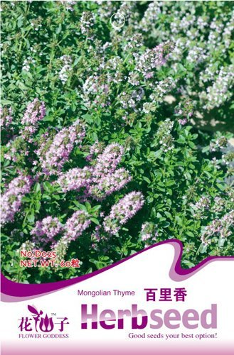herb 60 mongoles Seeds Thyme annuel et agréable odeur D025