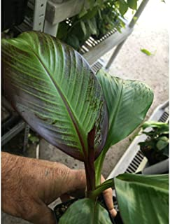 Ensete Maurelii Red Abyssinian Banana Cold Hardy Tropical Tree Plant SD6