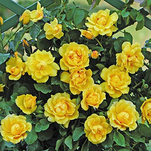 Golden Gate®, rosa rampicante in vaso di Rose Barni®, pianta di rosa rifiorente a mazzi, h. raggiunta fino a 5 metri, pianta di rosa resistente alle malattie, leggermente profumata, cod.18031