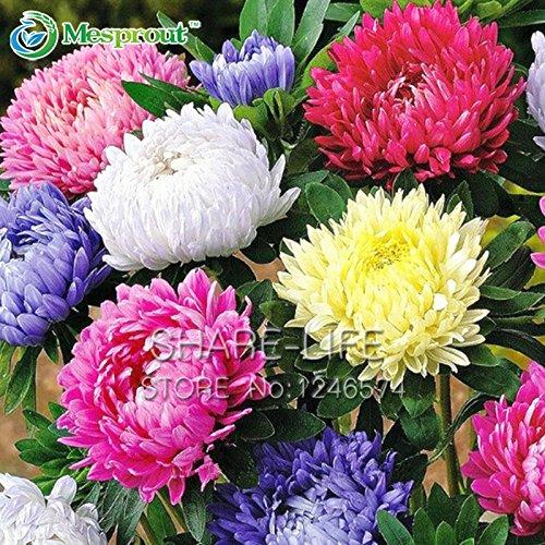 Un pack de 50 Pcs chinois Aster semences Graines Callistephus Chinensis Fleur Graines Balcon pot Bonsai Fleur