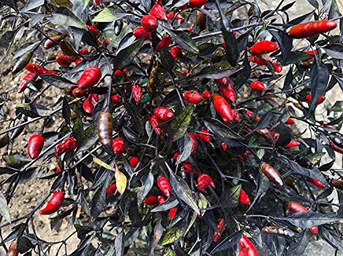 Bird's Eye Black 10 Samen, Tolle Chili mit Enormen Ertrag by Samenchilishop