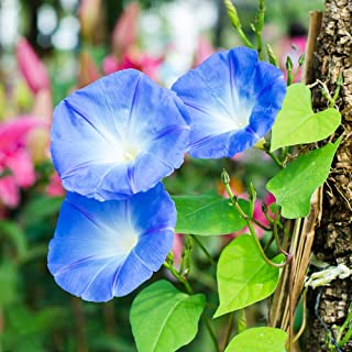 200 Tidal Petunia Seeds Perennial Heirloom Bonsai Plant Herb Seeds Home Potted Heirloom Seed Fragrant Flower Garden Decoration Easy to Grow