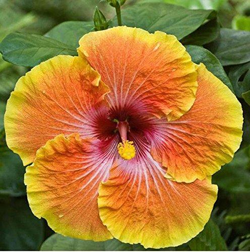 100 Hibiscus géant Graines de fleurs bricolage jardin en pot ou graines de fleurs cour graines de plantes faciles à cultiver pour les graines de jardin à la maison multicolor