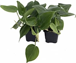 "Heart Leaf Philodendron cordatum - 2 Plants - World's Easiest Houseplant-3"" Pots"