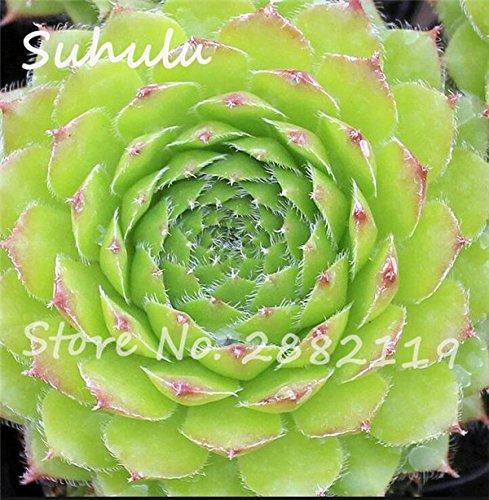 Pas cher 150 Pcs Mini Garden Succulentes Cactus Graines Variées Plantes vivaces Sempervivum Incroyable Maison Poireaux facile Live Forever 12 Cultivez