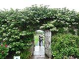 Kletterhortensie 70 cm Hydrangea petiolaris Kletterpflanze Hortensie -