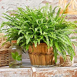 STRIKING, VIBRANT FOLIAGE – The standout foliage of the Boston Fern is made by the frilly, fountain-like fronds. They give the Boston Fern a look which is easy to look at – one that is certain to add something completely different to any indoor envir...