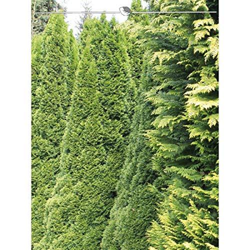 Gardline Lebensbaum Thuja Smaragd 100-120 cm. Angebot: 10-150 Heckenpflanzen. Thuja occidentalis Smaragd Konifere. Winterhart und Immergrün. Thuja Hecke als Sichtschutz Zaun | Inkl. Lieferung