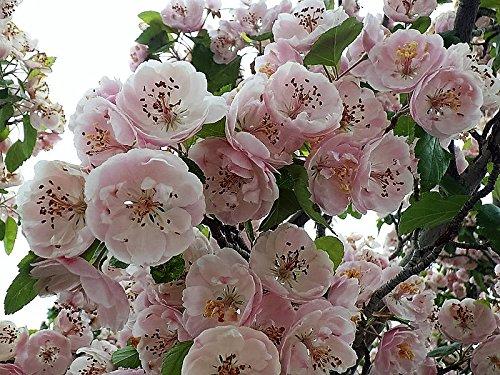 20 English Aubépine Arbre comestible Fruits Fleur Mayflower Aubépine Laevigata Graines