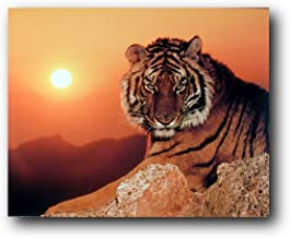 WILD TIGER PREDATOR 3353 Photo Poster Print Art * All Sizes Animal Poster