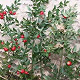 Zoom IMG-1 plant world seeds ruscus aculeatus