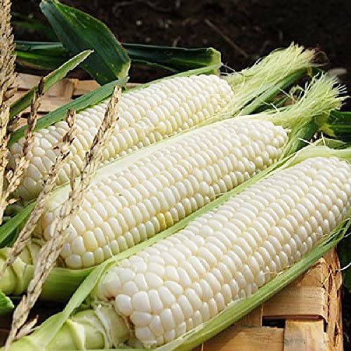 VietFA Corn Sẹẹds for wholesale Plạnting 100 - Max 72% OFF Sweet White