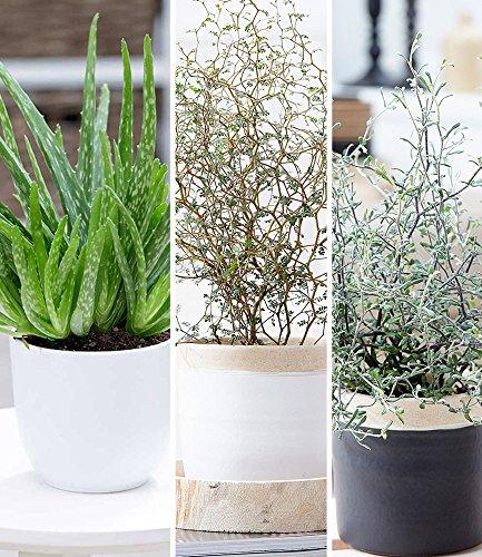 BALDUR-Garten Zimmerpflanzen-Mix Pflegeleicht, 3 Pflanzen je 1 Pflanze Aloe Vera, Maori® Sophora Cotoneaster 'Little Baby' und Maori® Corokia cotoneaster 'Bonsai Green' Zimmerpflanzen