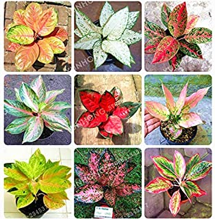 Best aglaonema for sale Reviews