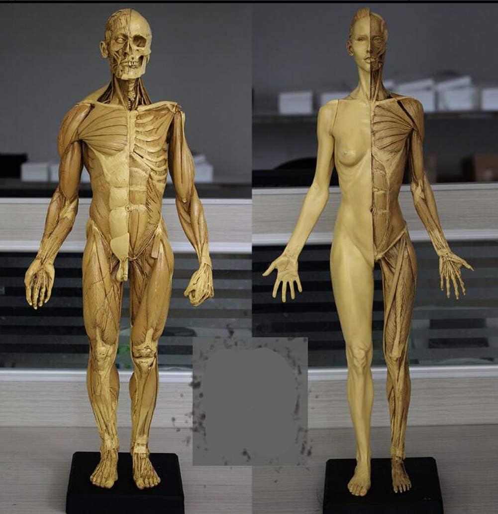Human Max 89% OFF Anatomy Figure Model 60cm + Portland Mall H Male Muscular Female