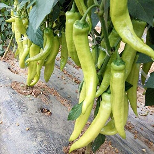 100 Pcs / Sac Poivre Blanc rares Bolivie Chili Super Hot Peppers Graines Plant légumes biologiques Prix de gros