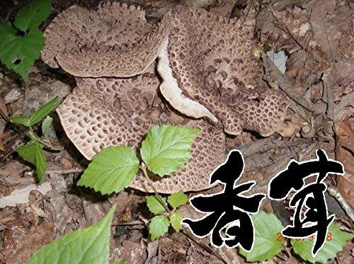 【国産】【天然きのこ】香茸(獅子茸・こうたけ・こう茸)300g